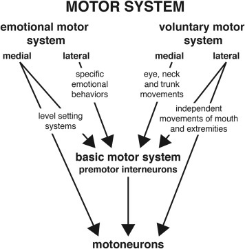 The motor system consists of two subsystems, the voluntary and the emotional ...