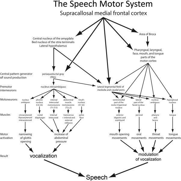 The hardware system of speech. Speech is an example of the collaboration between ...