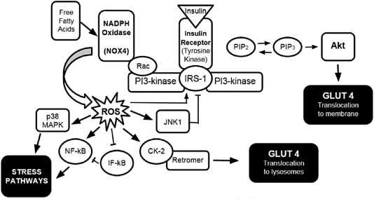 Oxidative stress and diabetes: Glucose response in the cROSsfire